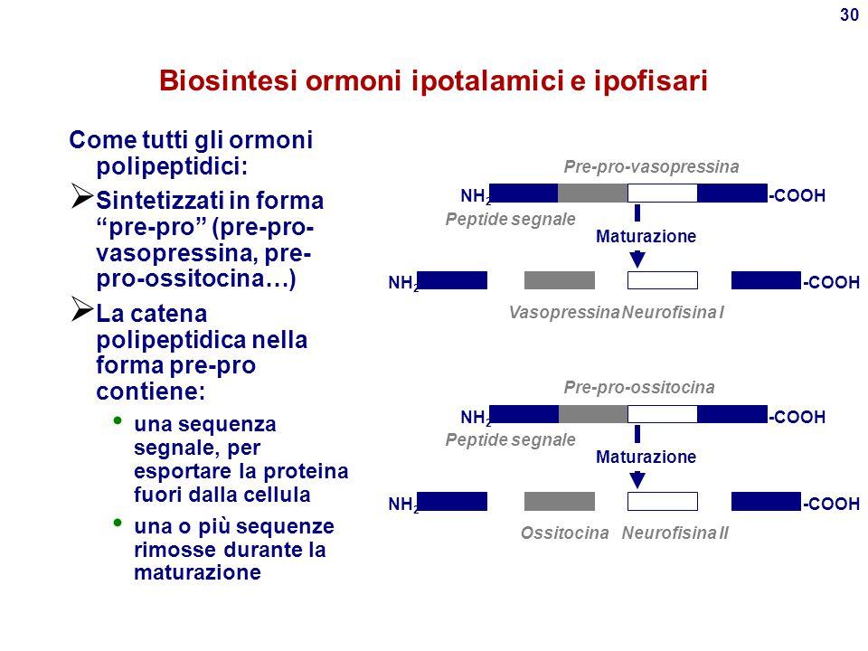 29 Ormoni ipofisari e ipotalamici Ipotalamo Ipofisi posteriore (neuroipofisi) Ipofisi anteriore (adenoipofisi) Ormoni di rilascio Altre ghiandole endo