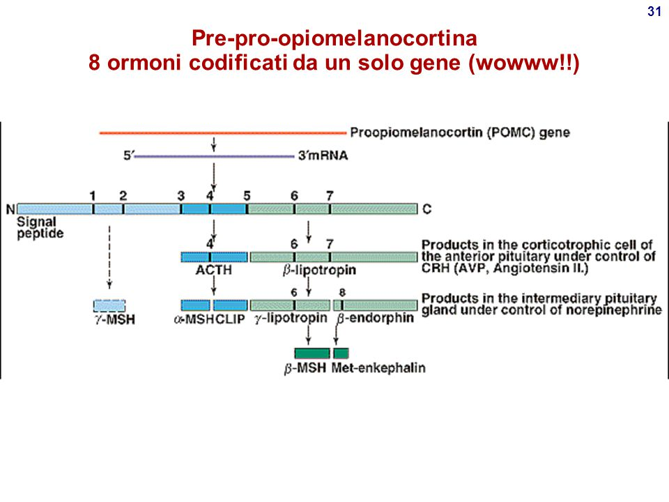 """30 Biosintesi ormoni ipotalamici e ipofisari Come tutti gli ormoni polipeptidici:  Sintetizzati in forma """"pre-pro"""" (pre-pro- vasopressina, pre- pro-o"""