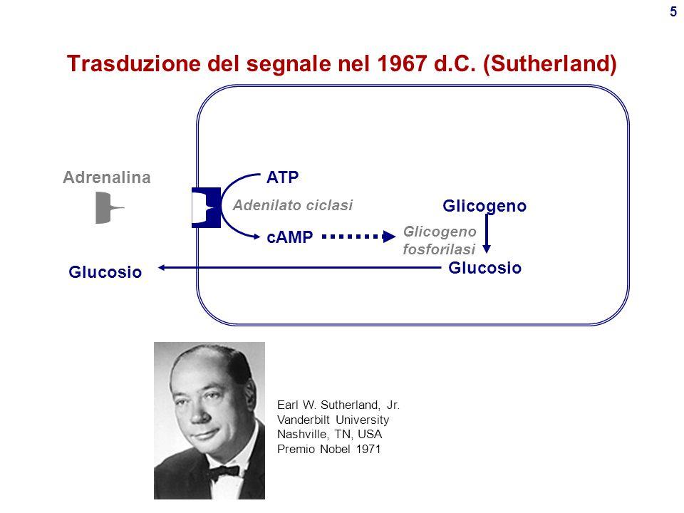 15 cAMP Sistema  -adrenergico - proteina G s Meccanismo analogo per GTP  cGMP  GMP