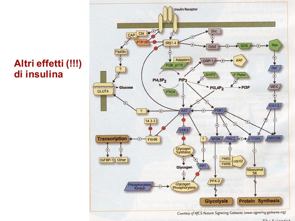 53 Altri effetti di insulina Nel 2001, insulina alterava:  L'attività di >50 proteine attraverso modificazioni covalenti  L'espressione di >100 mRNA