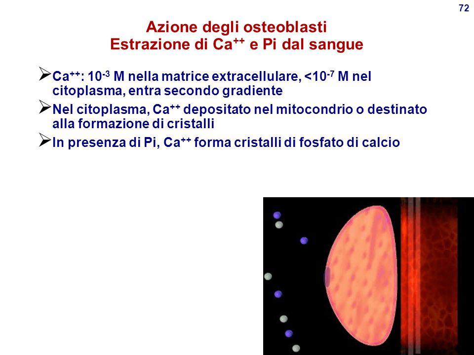 71 Osteoblasti Cellule specializzate per la crescita ossea  Originano dai fibroblasti del connettivo Network di collagene tipo I (cartilagine) nel qu