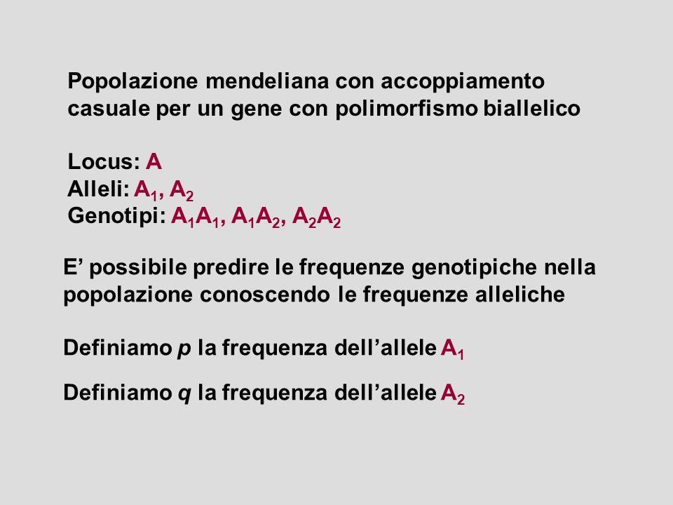 Popolazione mendeliana con accoppiamento casuale per un gene con polimorfismo biallelico Locus: A Alleli: A 1, A 2 Genotipi: A 1 A 1, A 1 A 2, A 2 A 2