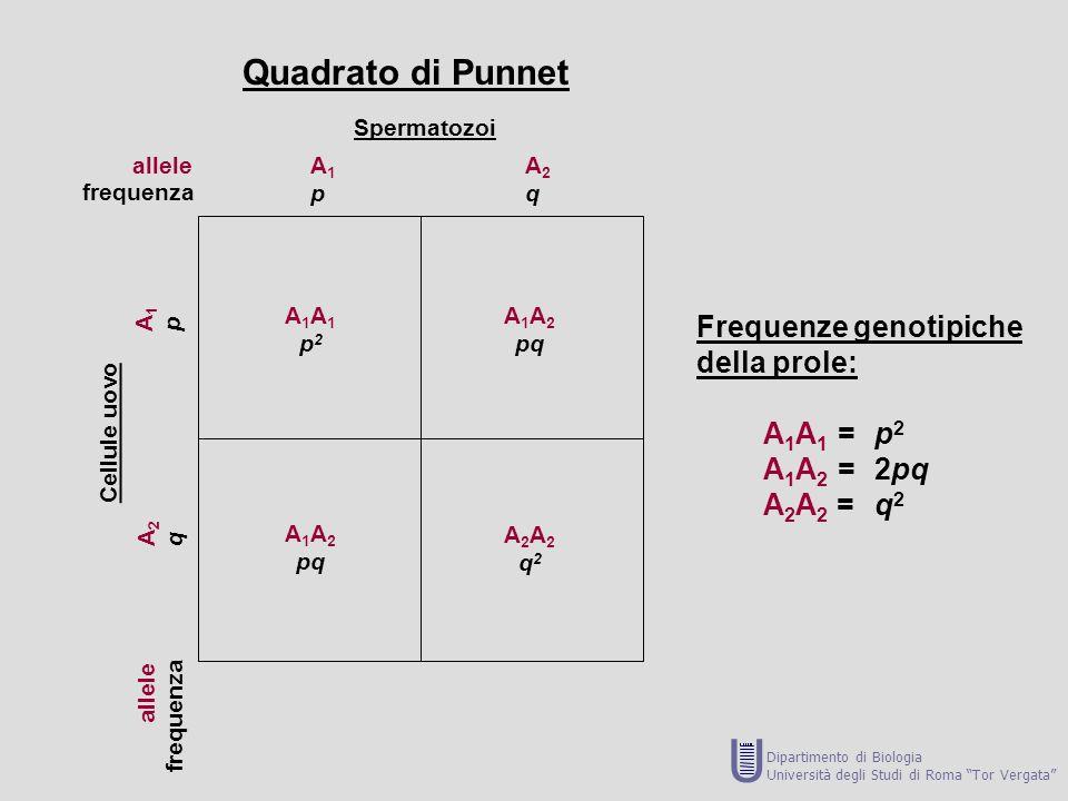 allele frequenza allele frequenza Spermatozoi Cellule uovo A1pA1p A2qA2q A1pA1p A2qA2q A1A1p2A1A1p2 A 1 A 2 pq A 1 A 2 pq A2A2q2A2A2q2 Quadrato di Pun