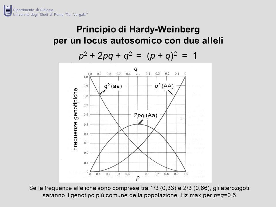 Principio di Hardy-Weinberg per un locus autosomico con due alleli p 2 + 2pq + q 2 = (p + q) 2 = 1 Se le frequenze alleliche sono comprese tra 1/3 (0,