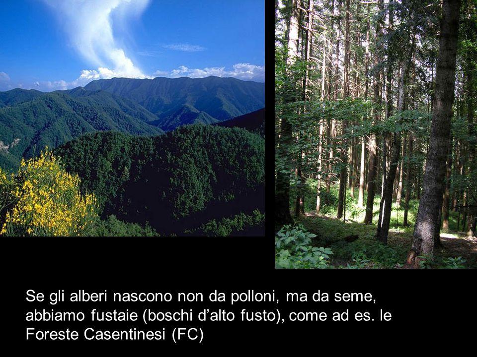 Se gli alberi nascono non da polloni, ma da seme, abbiamo fustaie (boschi d'alto fusto), come ad es. le Foreste Casentinesi (FC)