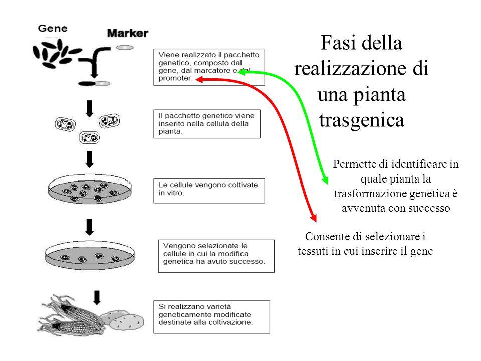 Fasi della realizzazione di una pianta trasgenica Consente di selezionare i tessuti in cui inserire il gene Permette di identificare in quale pianta la trasformazione genetica è avvenuta con successo