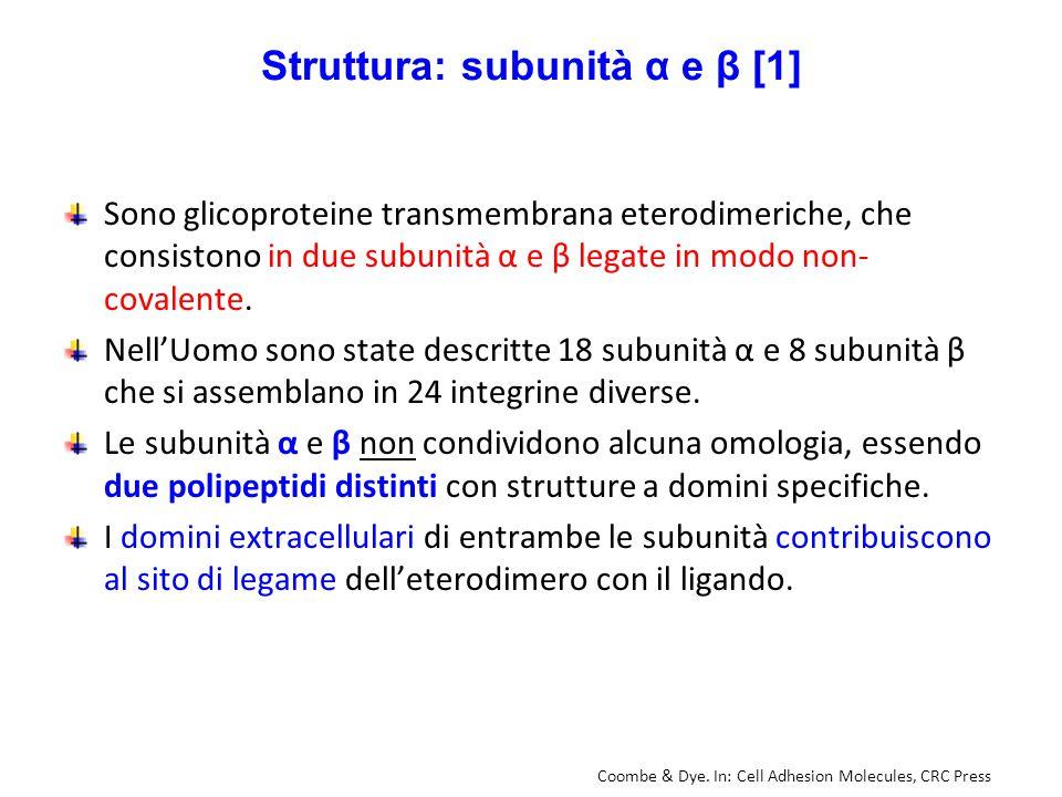 Struttura: subunità α e β [1] Sono glicoproteine transmembrana eterodimeriche, che consistono in due subunità α e β legate in modo non- covalente. Nel