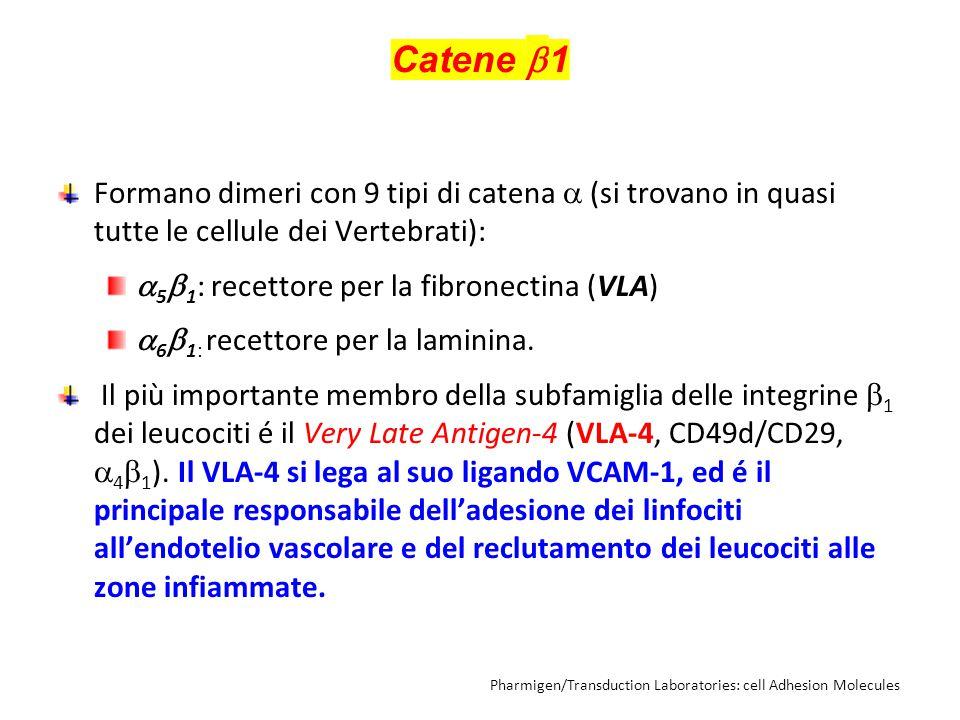 Catene  1 Formano dimeri con 9 tipi di catena  (si trovano in quasi tutte le cellule dei Vertebrati):  5  1 : recettore per la fibronectina (VLA)  6  1: recettore per la laminina.