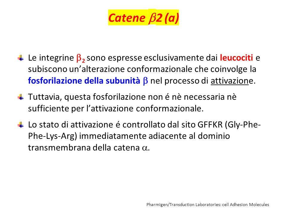 Catene  2 (a) Le integrine  2 sono espresse esclusivamente dai leucociti e subiscono un'alterazione conformazionale che coinvolge la fosforilazione