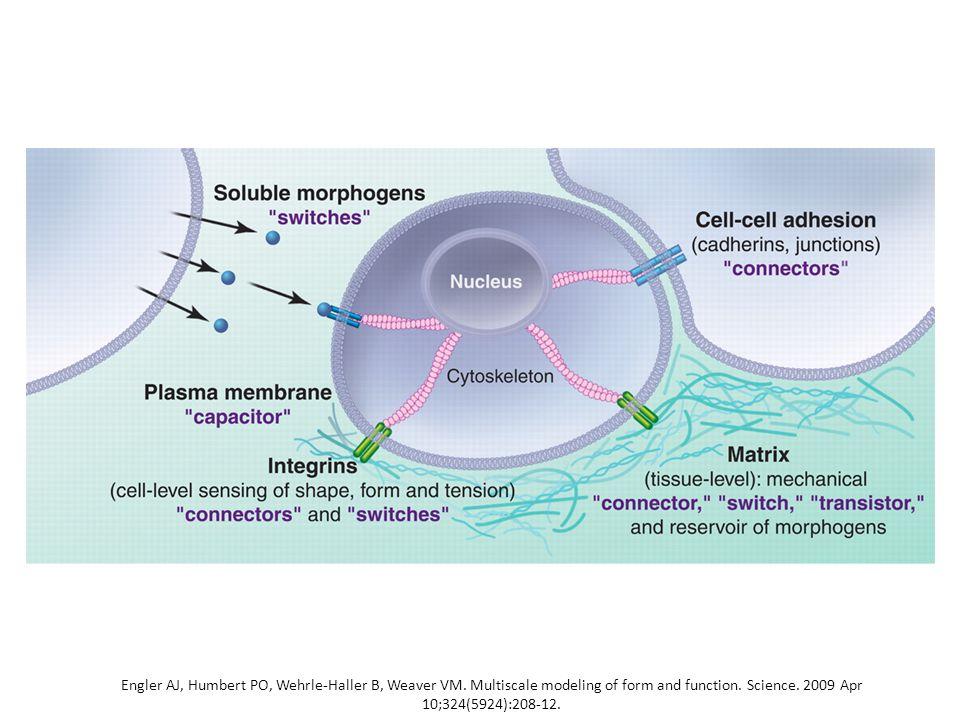 Legame con il citoscheletro (3) Così come le caderine promuovono l'adesione cellula-cellula senza formare giunzioni aderenti mature, le integrine possono mediare l'adesione cellula-matrice senza formare adesioni focali mature.
