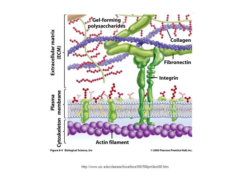 Seminario Collagene di tipo XVII (noto anche come BP180) (2) Il grande ectodominio C-terminale di circa 120 kDa consiste in 15 subdomini collagenosi, caratterizzati dalle tipiche sequenze ripetute G-X- Y dei collageni.