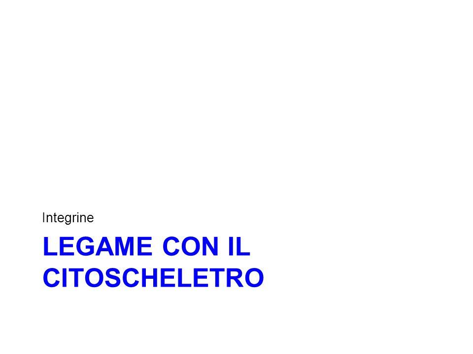 LEGAME CON IL CITOSCHELETRO Integrine