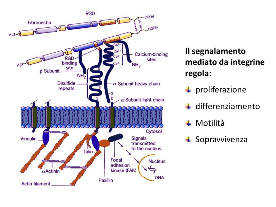 Integrine [1] Principali molecole di collegamento delle cellule con la Matrice ExtraCellulare (MEC) e di risposta a segnali provenienti dalla MEC Sono costituite da due subunità glicoproteiche transmembrana (  e  ) di dimensioni 120-170 kDa e 90-100 kDa, rispettivamente, associate in modo non-covalente, entrambe delle quali contribuiscono al legame con la MEC o con le altre cellule.