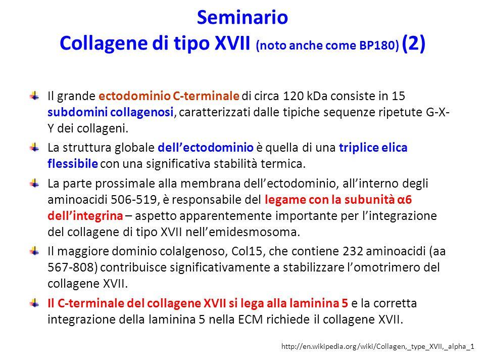Seminario Collagene di tipo XVII (noto anche come BP180) (2) Il grande ectodominio C-terminale di circa 120 kDa consiste in 15 subdomini collagenosi,