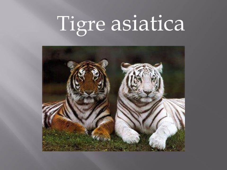Tigre asiatica