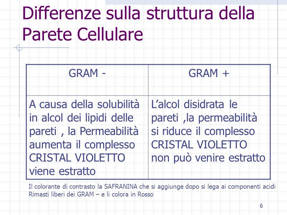 6 Differenze sulla struttura della Parete Cellulare GRAM -GRAM + A causa della solubilità in alcol dei lipidi delle pareti, la Permeabilità aumenta il complesso CRISTAL VIOLETTO viene estratto L'alcol disidrata le pareti,la permeabilità si riduce il complesso CRISTAL VIOLETTO non può venire estratto Il colorante di contrasto la SAFRANINA che si aggiunge dopo si lega ai componenti acidi Rimasti liberi dei GRAM – e li colora in Rosso