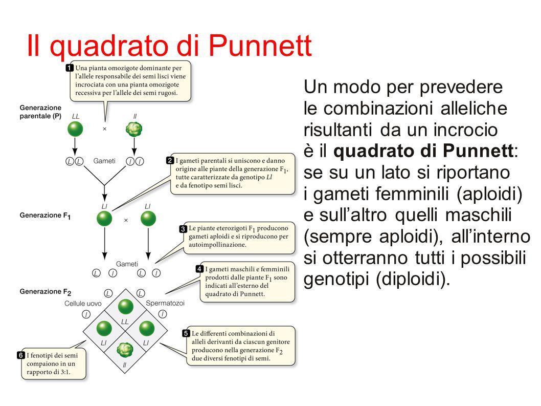 Un modo per prevedere le combinazioni alleliche risultanti da un incrocio è il quadrato di Punnett: se su un lato si riportano i gameti femminili (aploidi) e sull'altro quelli maschili (sempre aploidi), all'interno si otterranno tutti i possibili genotipi (diploidi).