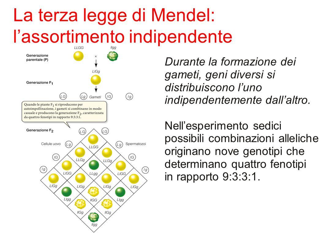 La terza legge di Mendel: l'assortimento indipendente Durante la formazione dei gameti, geni diversi si distribuiscono l'uno indipendentemente dall'altro.