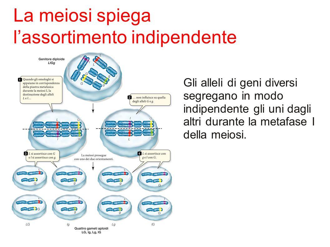 Gli alleli di geni diversi segregano in modo indipendente gli uni dagli altri durante la metafase I della meiosi.