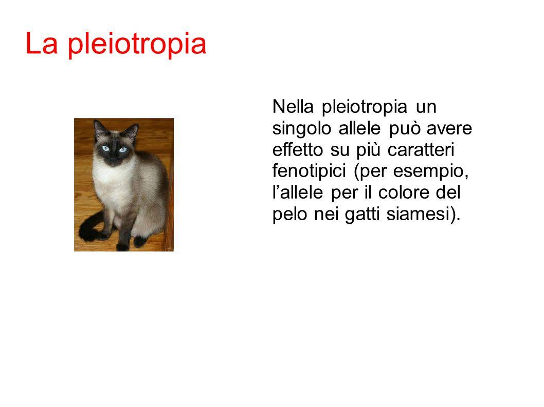 Nella pleiotropia un singolo allele può avere effetto su più caratteri fenotipici (per esempio, l'allele per il colore del pelo nei gatti siamesi).