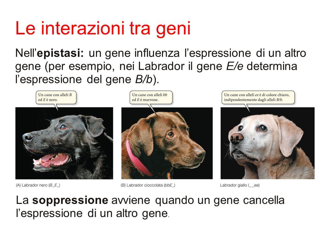 Le interazioni tra geni Nell'epistasi: un gene influenza l'espressione di un altro gene (per esempio, nei Labrador il gene E/e determina l'espressione del gene B/b).