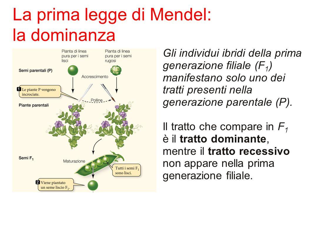 La prima legge di Mendel: la dominanza Gli individui ibridi della prima generazione filiale (F 1 ) manifestano solo uno dei tratti presenti nella generazione parentale (P).