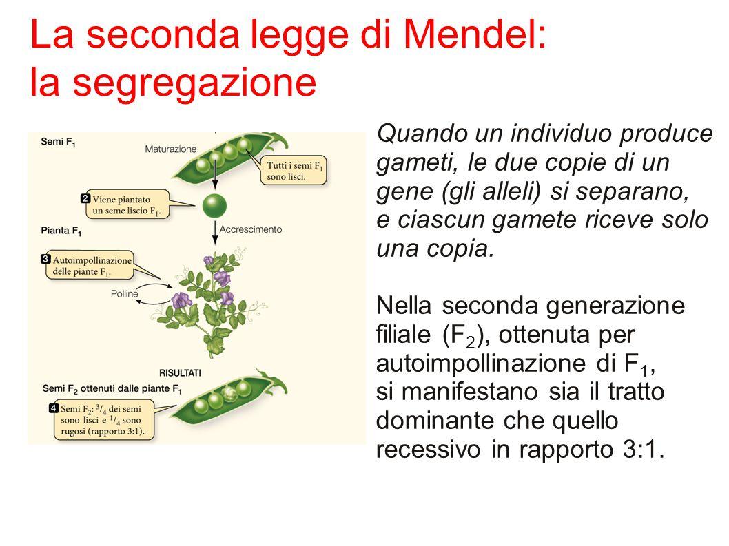 Quando un individuo produce gameti, le due copie di un gene (gli alleli) si separano, e ciascun gamete riceve solo una copia.