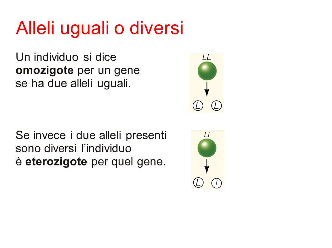 Alleli uguali o diversi Un individuo si dice omozigote per un gene se ha due alleli uguali.