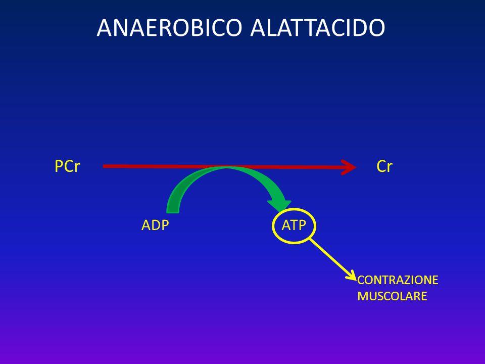 ANAEROBICO ALATTACIDO PCr ADPATP Cr CONTRAZIONE MUSCOLARE