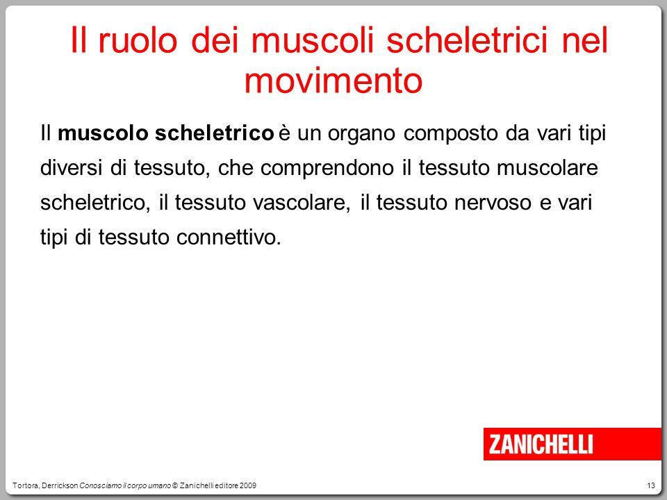 13 Il ruolo dei muscoli scheletrici nel movimento Il muscolo scheletrico è un organo composto da vari tipi diversi di tessuto, che comprendono il tess