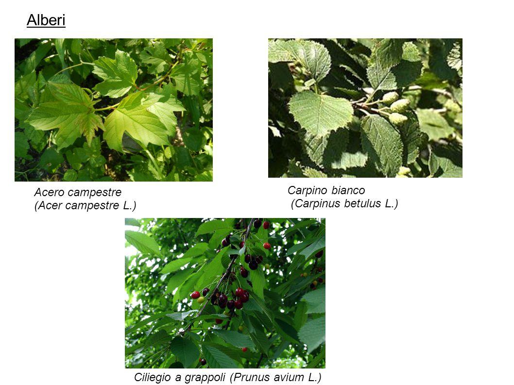 Alberi Acero campestre (Acer campestre L.) Carpino bianco (Carpinus betulus L.) Ciliegio a grappoli (Prunus avium L.)