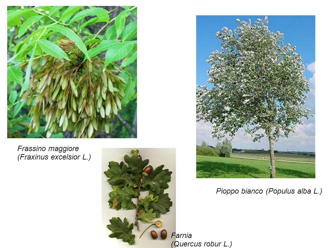 Frassino maggiore (Fraxinus excelsior L.) Farnia (Quercus robur L.) Pioppo bianco (Populus alba L.)