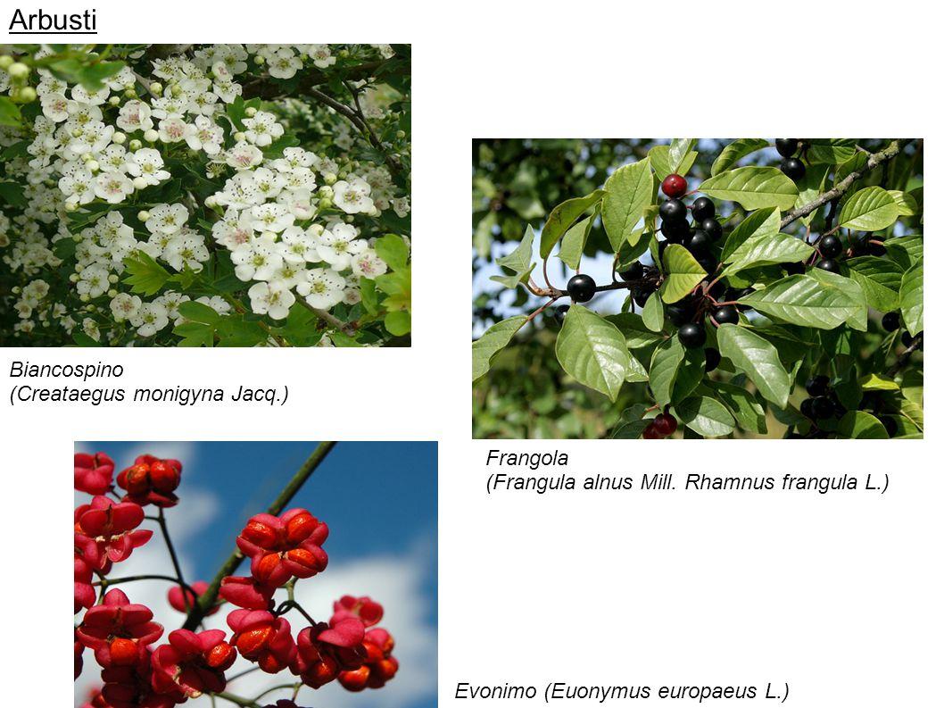 Arbusti Biancospino (Creataegus monigyna Jacq.) Frangola (Frangula alnus Mill. Rhamnus frangula L.) Evonimo (Euonymus europaeus L.)