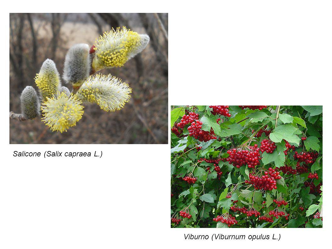 Salicone (Salix capraea L.) Viburno (Viburnum opulus L.)