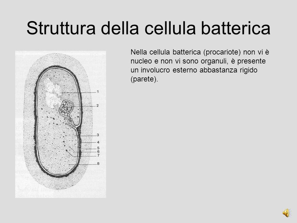 Struttura della cellula batterica Nella cellula batterica (procariote) non vi è nucleo e non vi sono organuli, è presente un involucro esterno abbastanza rigido (parete).