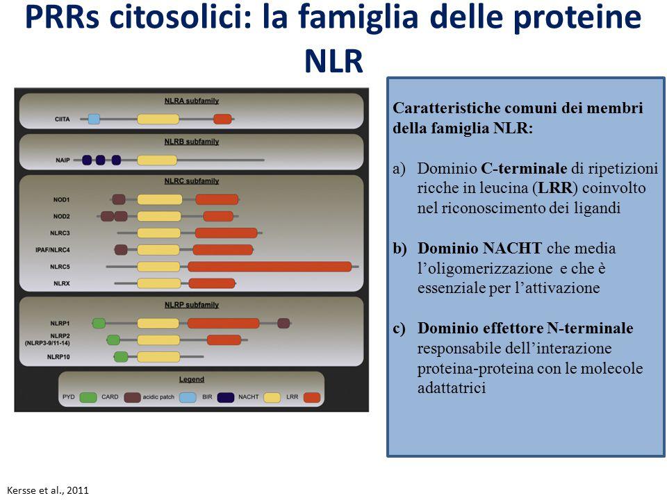 PRRs citosolici: la famiglia delle proteine NLR Caratteristiche comuni dei membri della famiglia NLR: a)Dominio C-terminale di ripetizioni ricche in l
