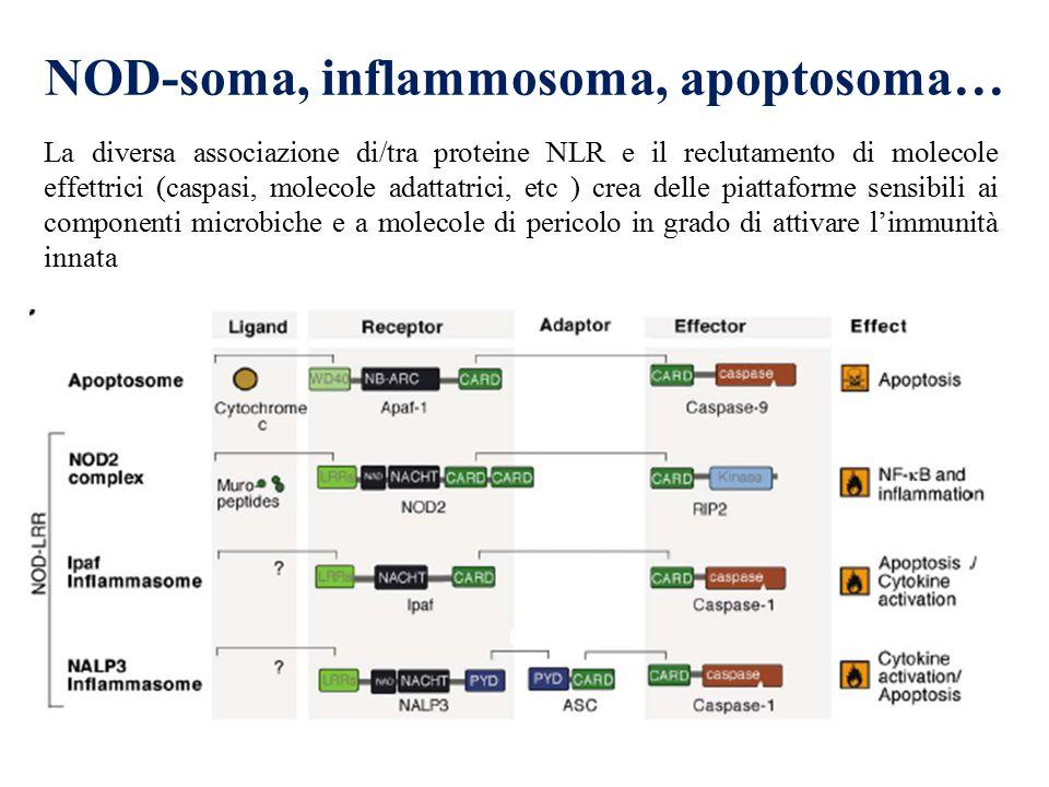 La diversa associazione di/tra proteine NLR e il reclutamento di molecole effettrici (caspasi, molecole adattatrici, etc ) crea delle piattaforme sens