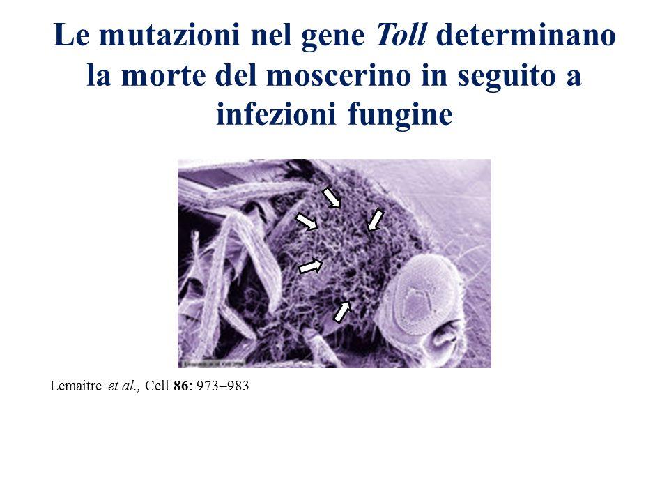 Le mutazioni nel gene Toll determinano la morte del moscerino in seguito a infezioni fungine Lemaitre et al., Cell 86: 973–983