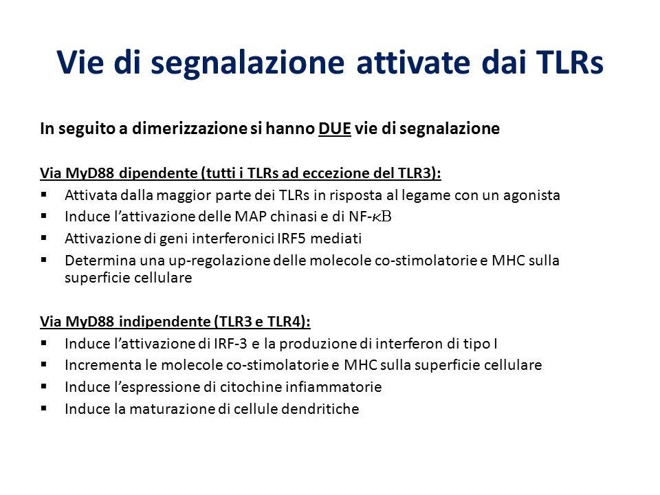 Vie di segnalazione attivate dai TLRs In seguito a dimerizzazione si hanno DUE vie di segnalazione Via MyD88 dipendente (tutti i TLRs ad eccezione del