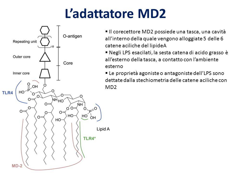 L'adattatore MD2  Il corecettore MD2 possiede una tasca, una cavità all'interno della quale vengono alloggiate 5 delle 6 catene aciliche del lipideA