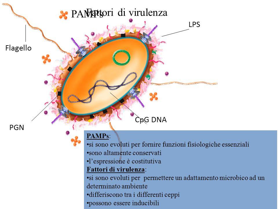 Fattori di virulenza PAMPs Flagello PGN CpG DNA LPS PAMPs: si sono evoluti per fornire funzioni fisiologiche essenziali sono altamente conservati l'es