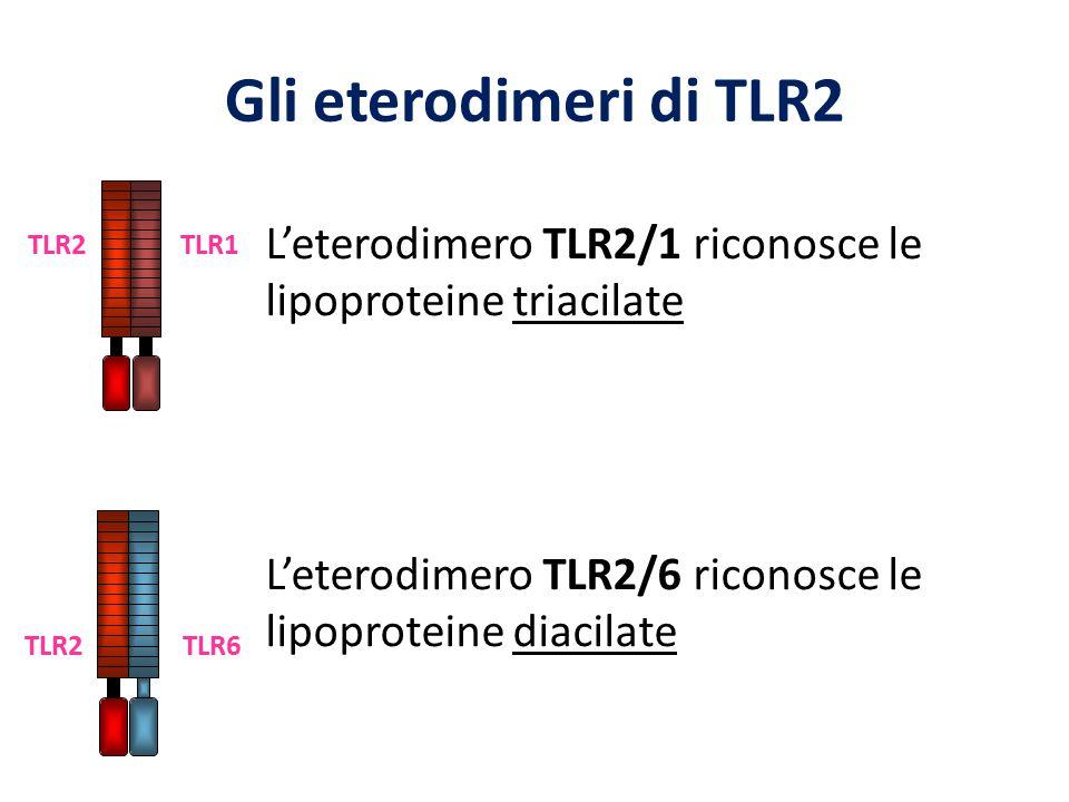 L'eterodimero TLR2/1 riconosce le lipoproteine triacilate L'eterodimero TLR2/6 riconosce le lipoproteine diacilate TLR6 TLR2 TLR1 TLR2 Gli eterodimeri