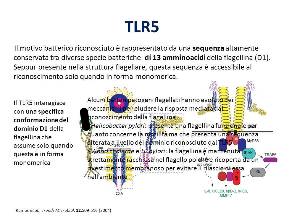 TLR5 Il motivo batterico riconosciuto è rappresentato da una sequenza altamente conservata tra diverse specie batteriche di 13 amminoacidi della flage