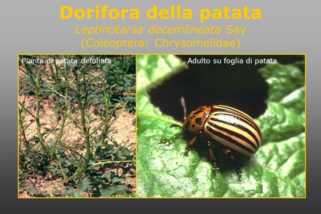 Dorifora della patata Leptinotarsa decemlineata Say (Coleoptera: Chrysomelidae) Adulto su foglia di patataPianta di patata defoliata