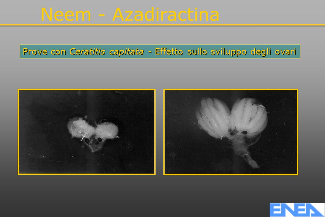 Neem - Azadiractina Prove con Ceratitis capitata - Effetto sullo sviluppo degli ovari