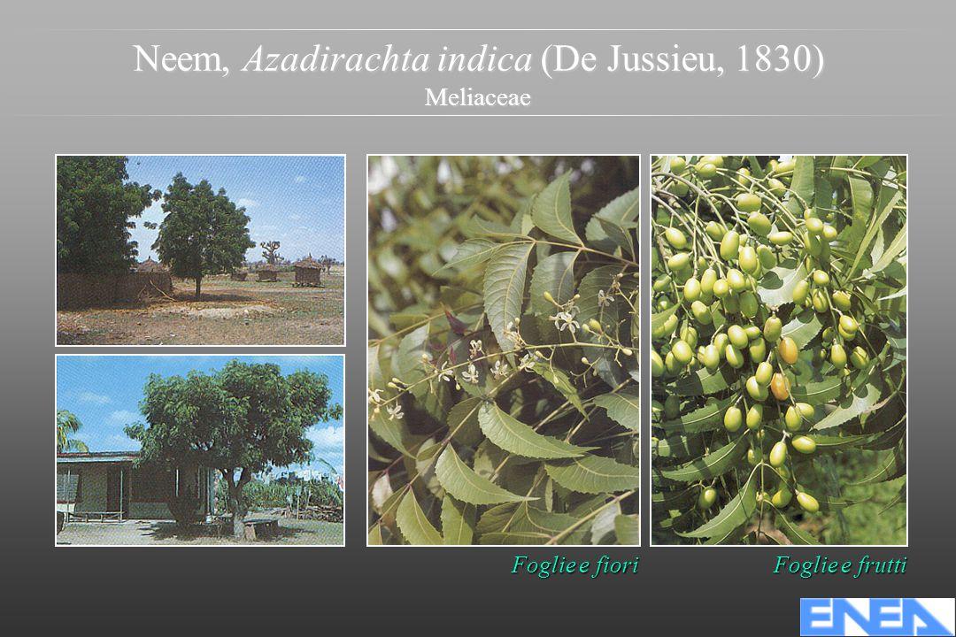 Neem, Azadirachta indica (De Jussieu, 1830) Meliaceae Foglie e fiori Foglie e frutti