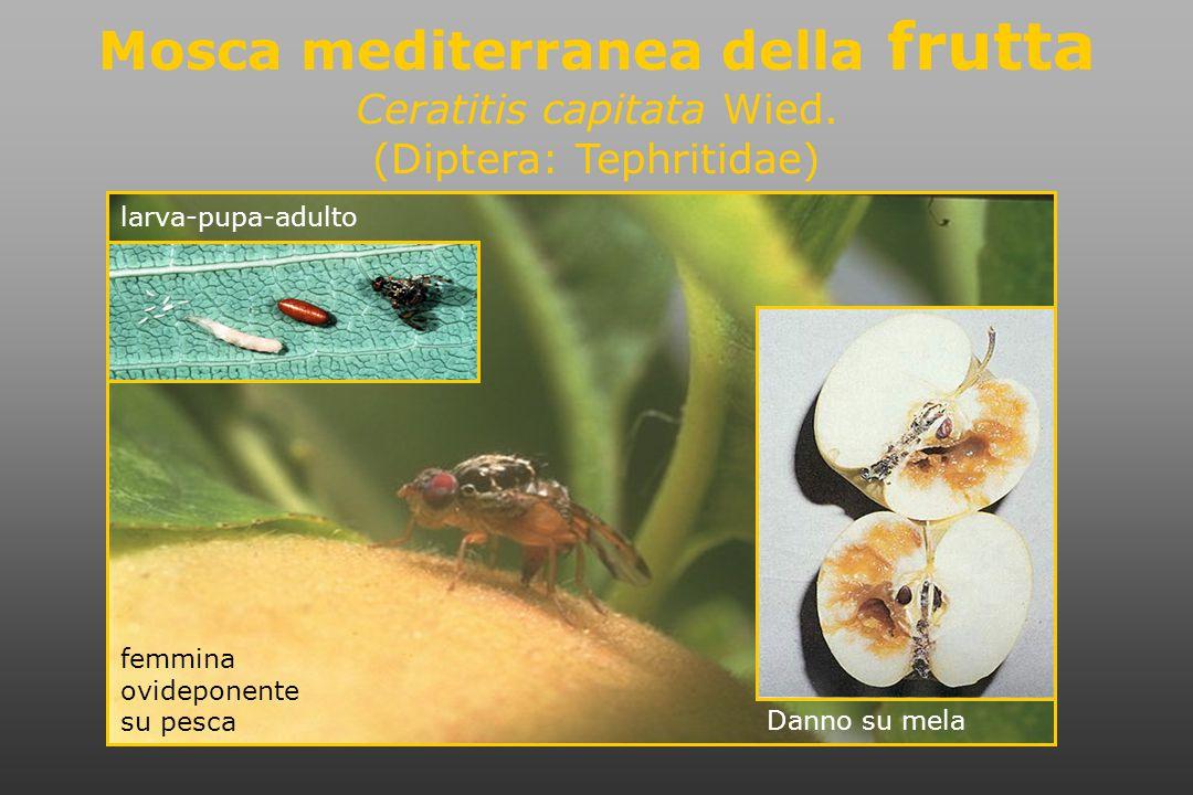 femmina ovideponente su pesca Mosca mediterranea della frutta Ceratitis capitata Wied.