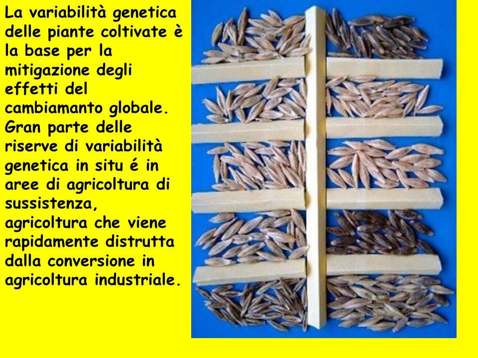 La variabilità genetica delle piante coltivate è la base per la mitigazione degli effetti del cambiamanto globale. Gran parte delle riserve di variabi