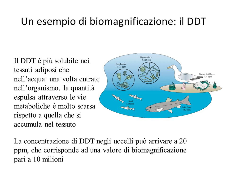 Un esempio di biomagnificazione: il DDT La concentrazione di DDT negli uccelli può arrivare a 20 ppm, che corrisponde ad una valore di biomagnificazio
