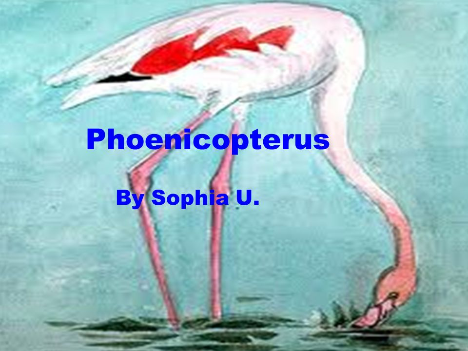 Phoenicopterus By Sophia U.